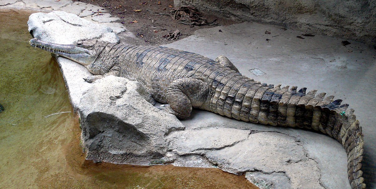 false-gharial